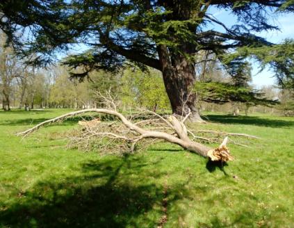 Fallen Cedar, Its Journey